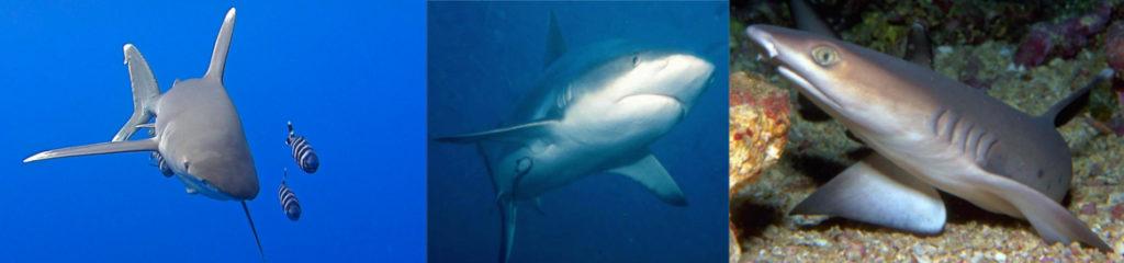 Haie Rotes Meer
